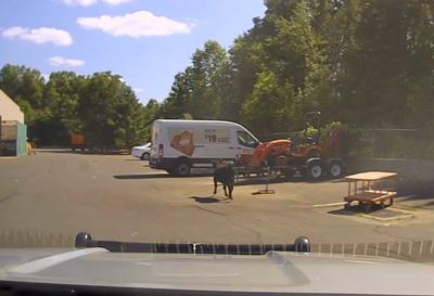 Escaped calf killed behind Home Depot sparks outrage