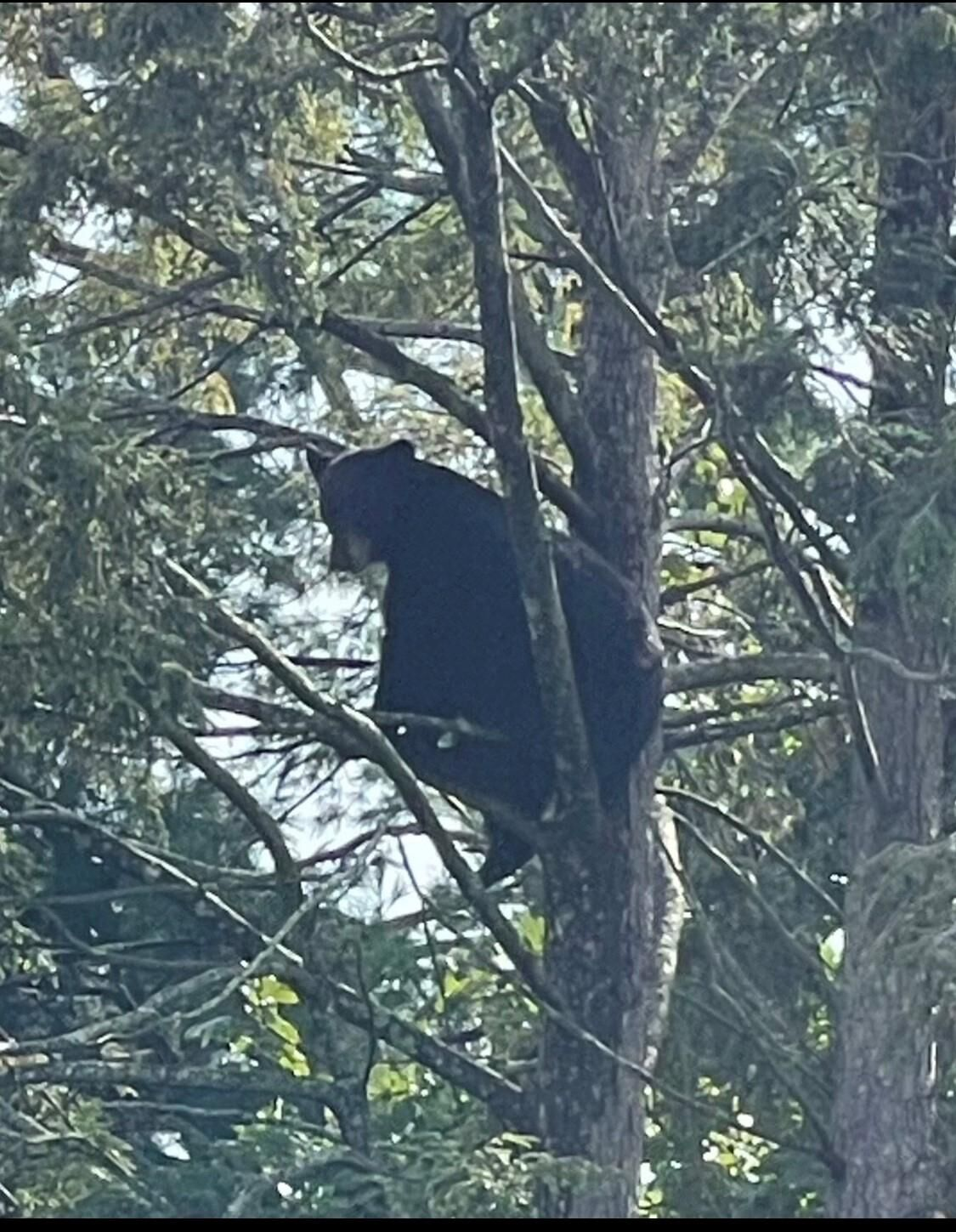 Bear in West Hartford tree climbs down without incident