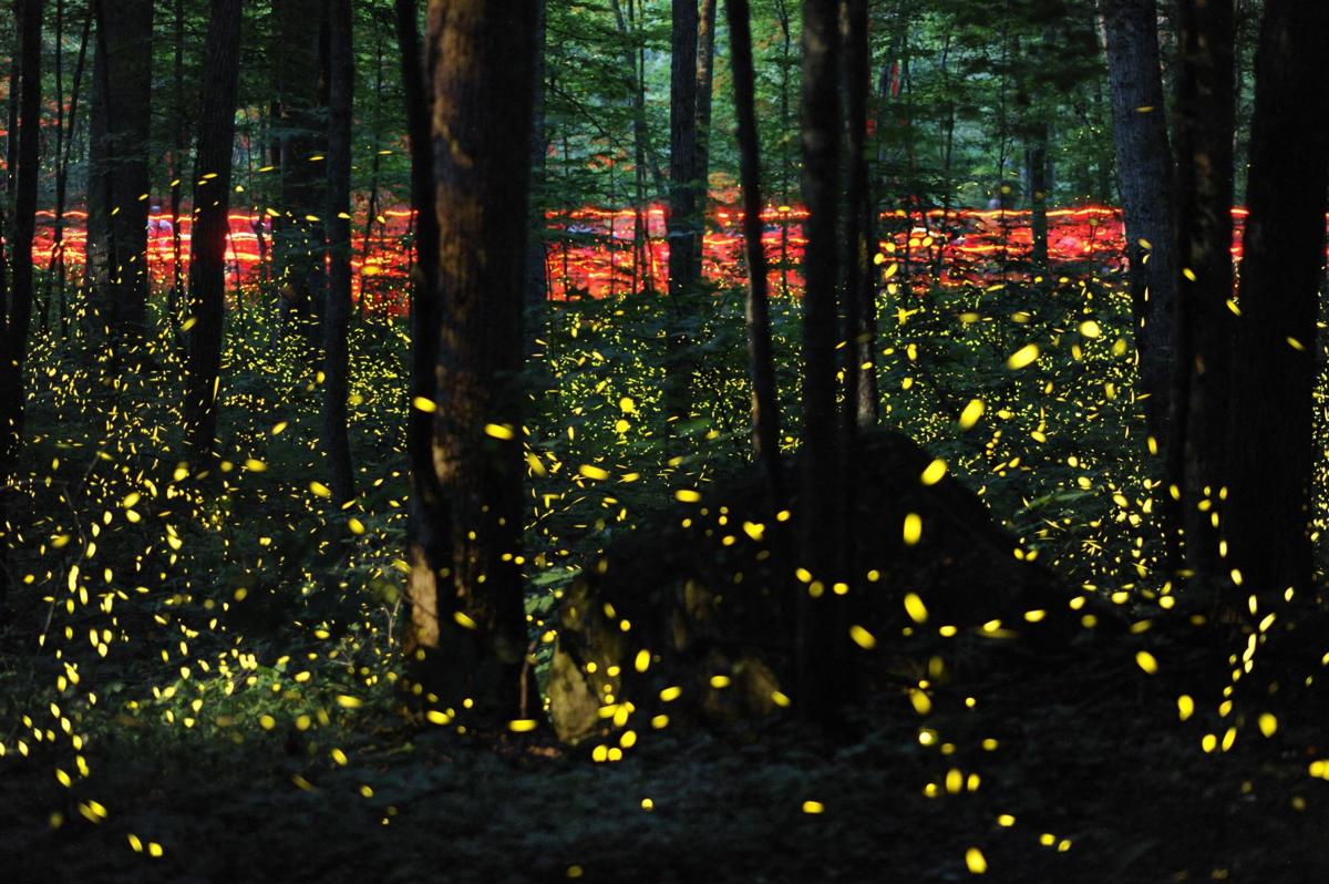 Fireflies, miracle beacons of summer, may be in decline — but they're making a big show of it in 2019