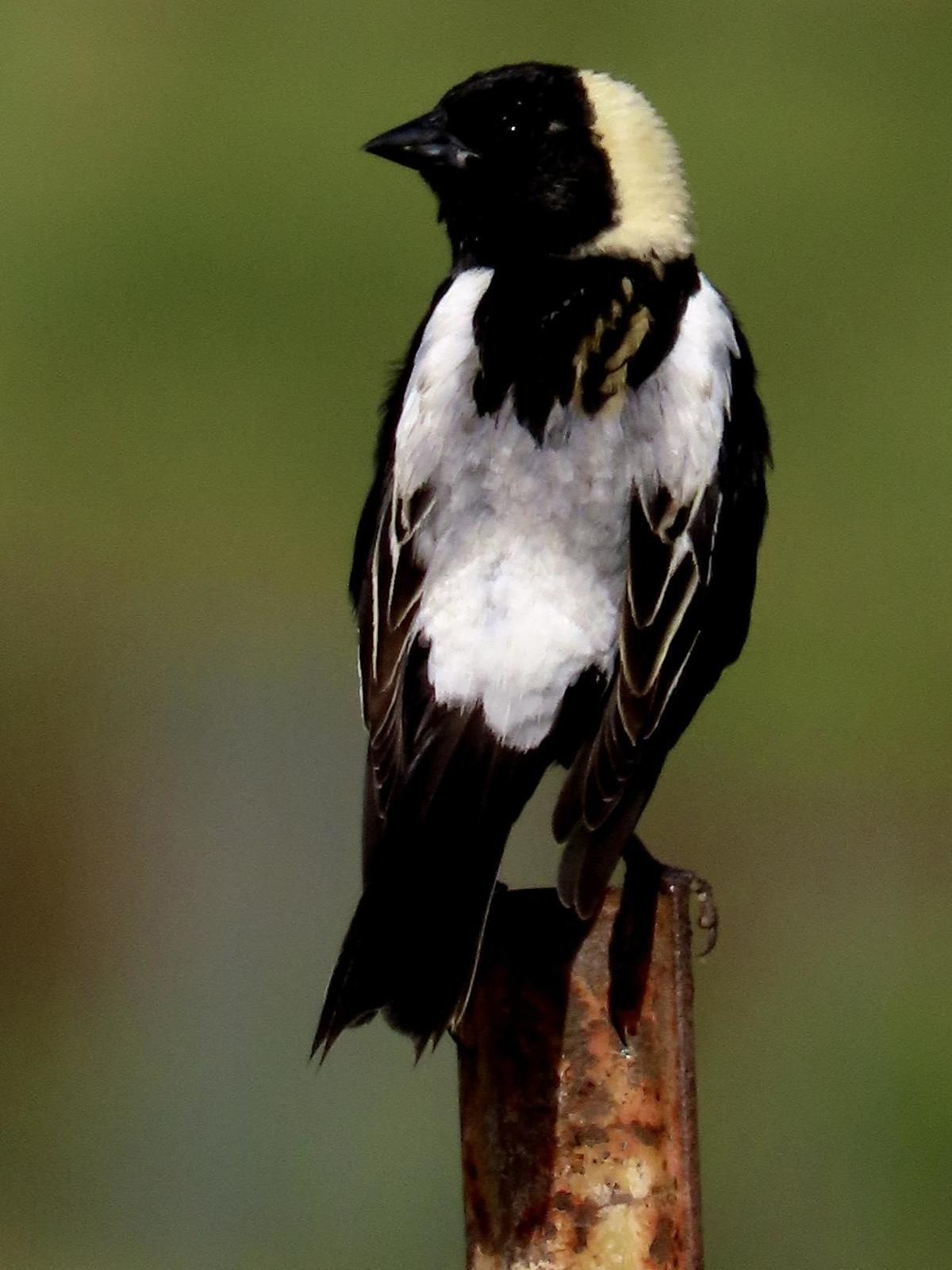 Robert Miller: Efforts to protect the bobolinks in our state