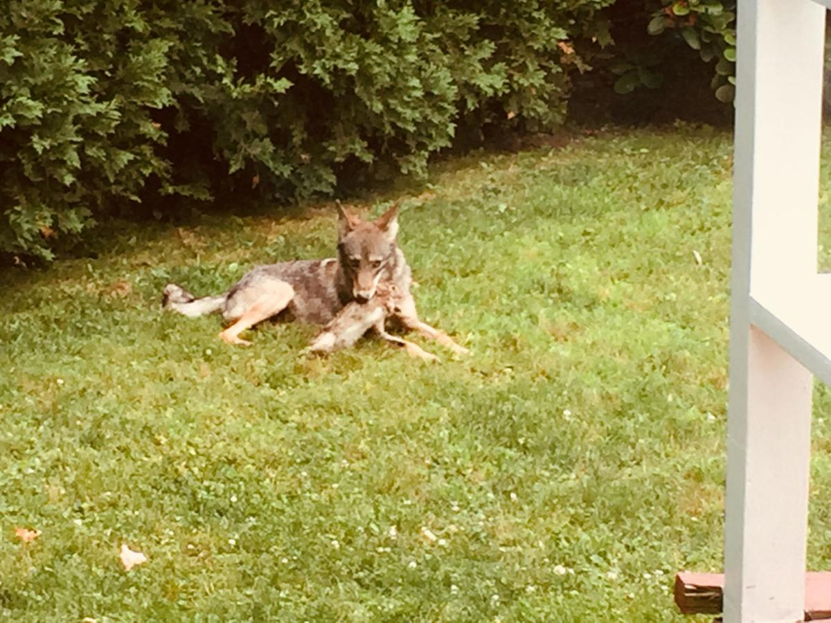 Warning: Aggressive coyotes could eat your pets during mating season