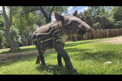 A young tapir named Dozer the Wildlife World Zoo