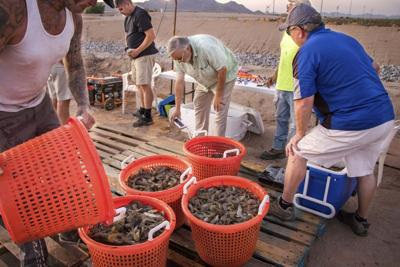 Shrimp harvesters weigh buckets of fresh shrimp before adding them to iced totes.