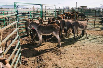 The Bureau of Land Management Donkeys