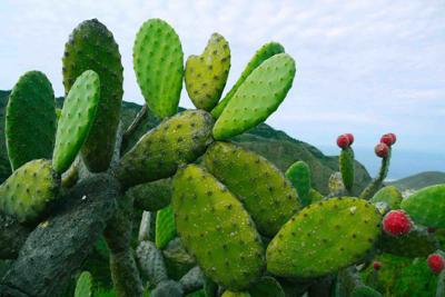 Cactus Plastic