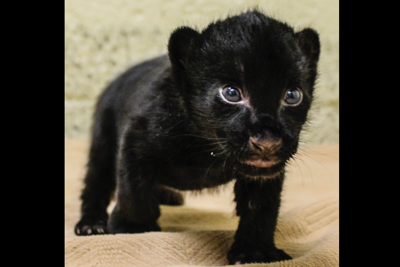 Endangered jaguar gives birth at Wildlife World