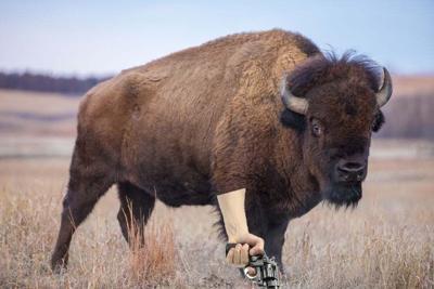 buffalo with gun