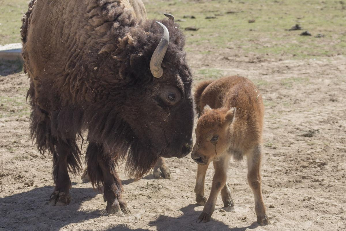 Bison Born At Wildlife World Zoo News Westvalleyview Com