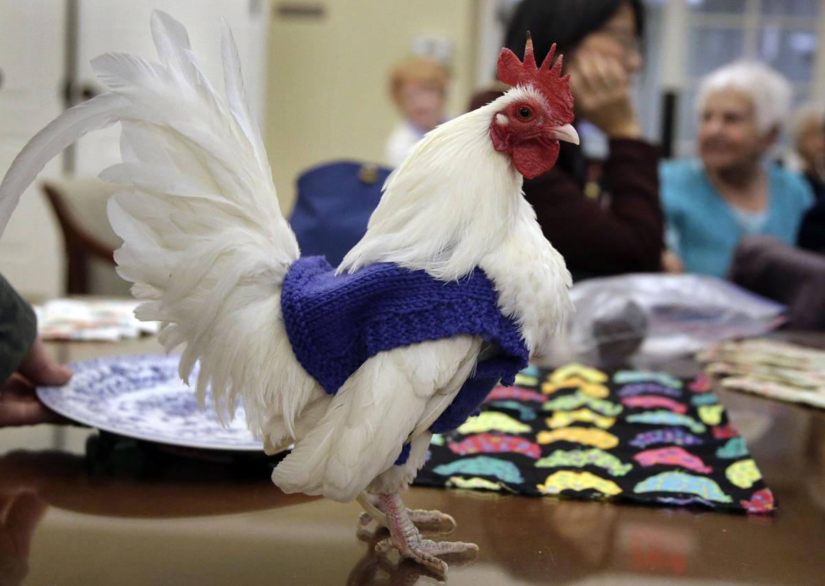 Sweaters for Chickens