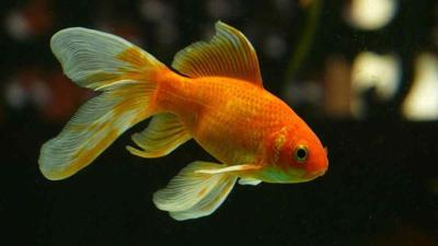 Why Releasing Your Goldfish Into The Wild Is A Bad Idea