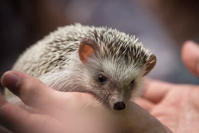 The CDC Is Urging People To Stop Snuggling Hedgehogs Because They Can Spread Salmonella