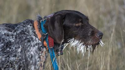 What To Do If Your Dog Gets Quilled By A Porcupine