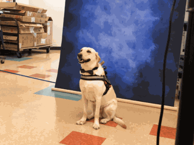 This Service Dog Wore A Bowtie For His Yearbook Photo And He Looks So Handsome