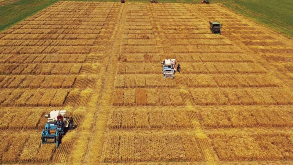 harvesting research plots WREC 2019