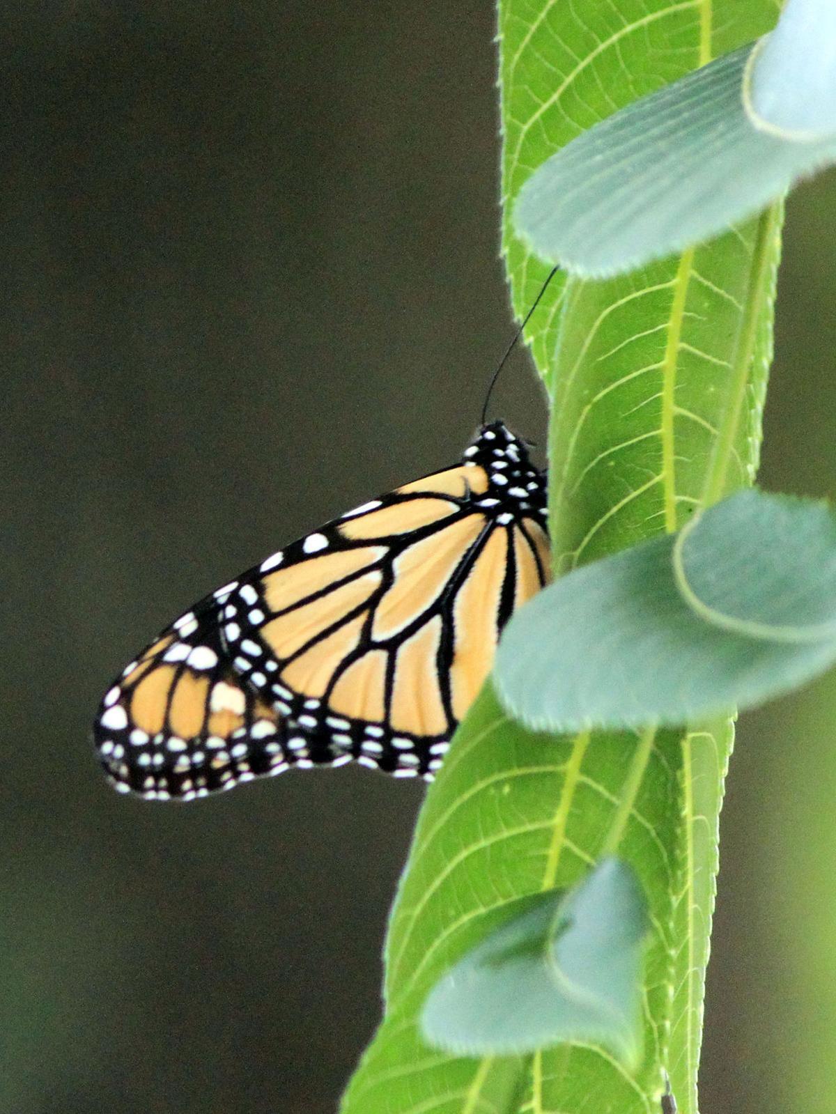 monarchwalnut