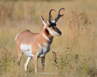 antelope file photo