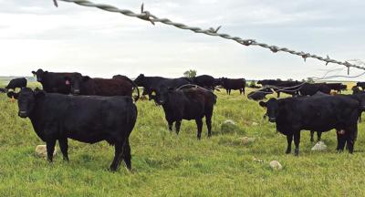 COOL cattle - CMYK
