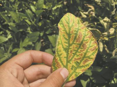 Sudden death syndrome may impact soybeans