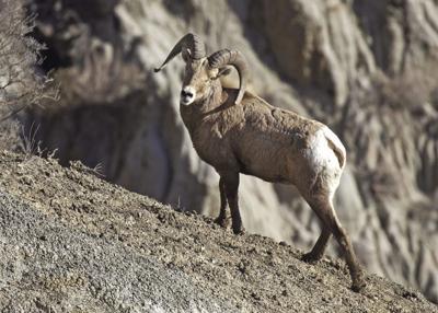 bighorn sheep count