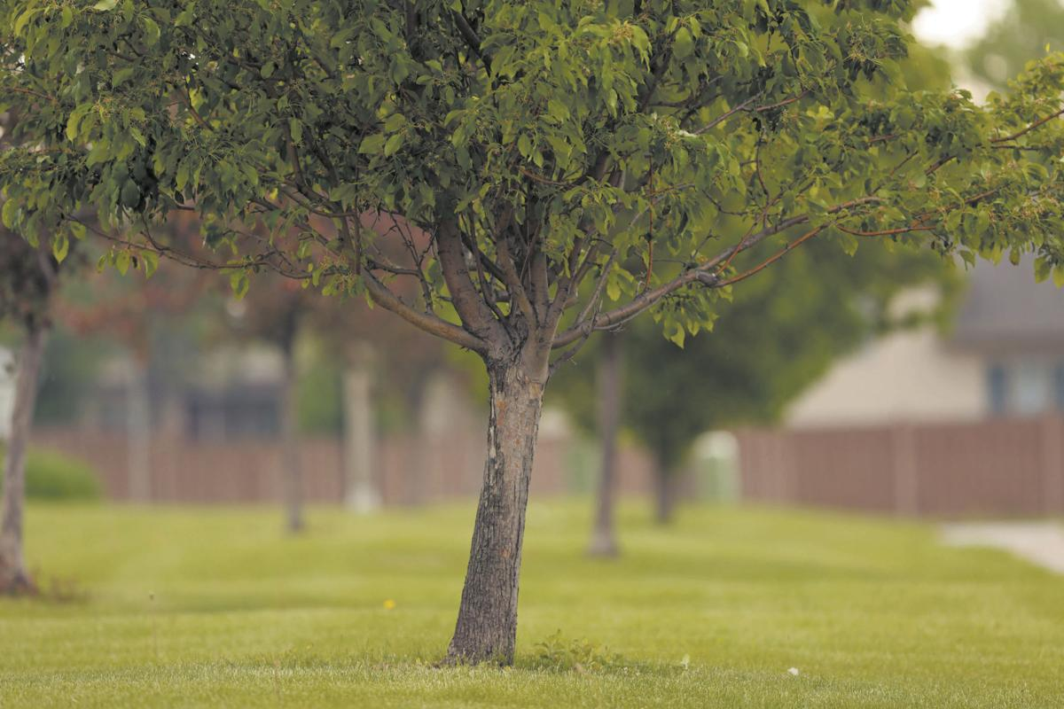 A silent killer is shortening the lives of our trees