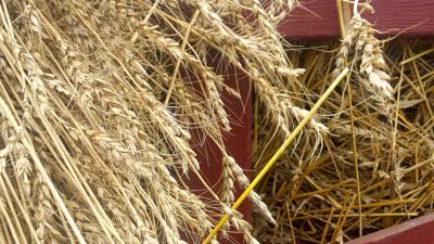 Wheat (copy)