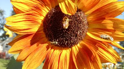 bee and sunflower file photo