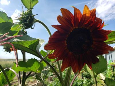 sunflowers in Williston