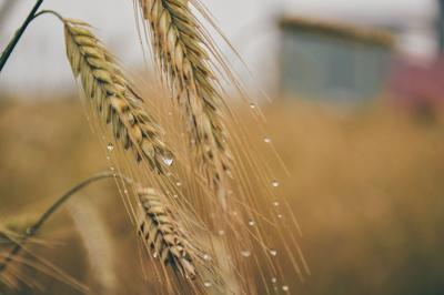 Moving wheat (copy)