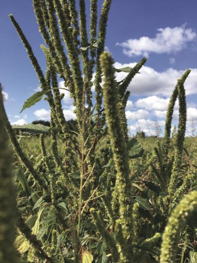 NDSU Extension works to prevent spread of Palmer amaranth