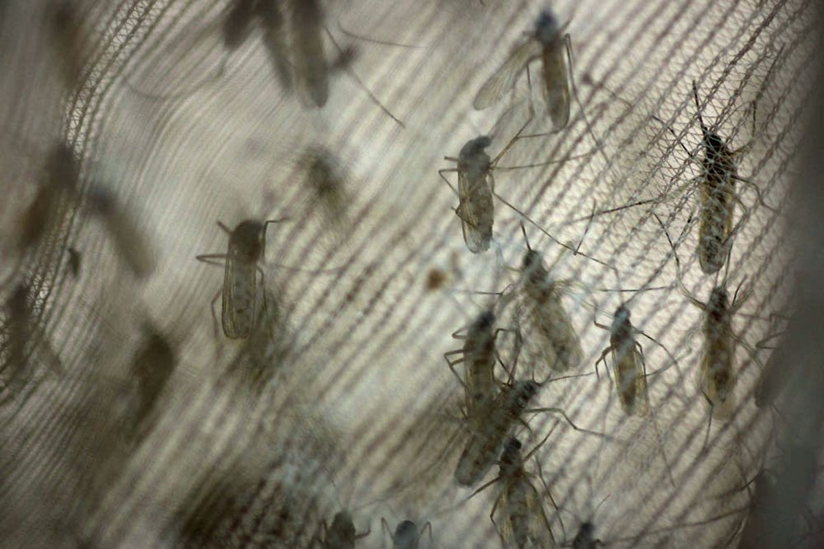Mosquitoes with West Nile virus found in Leominster