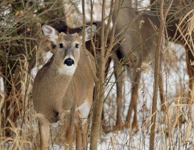 Deer CWD