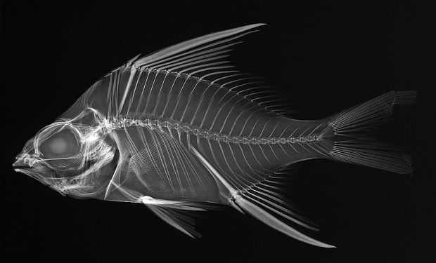 39 x ray vision fish inside out 39 opens at marine art for X ray fish