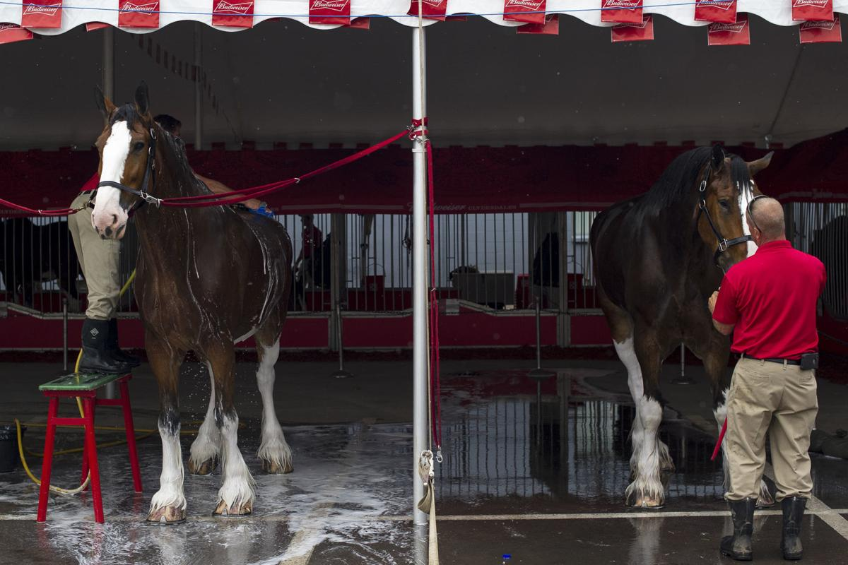 Budweiser Clydesdales 04