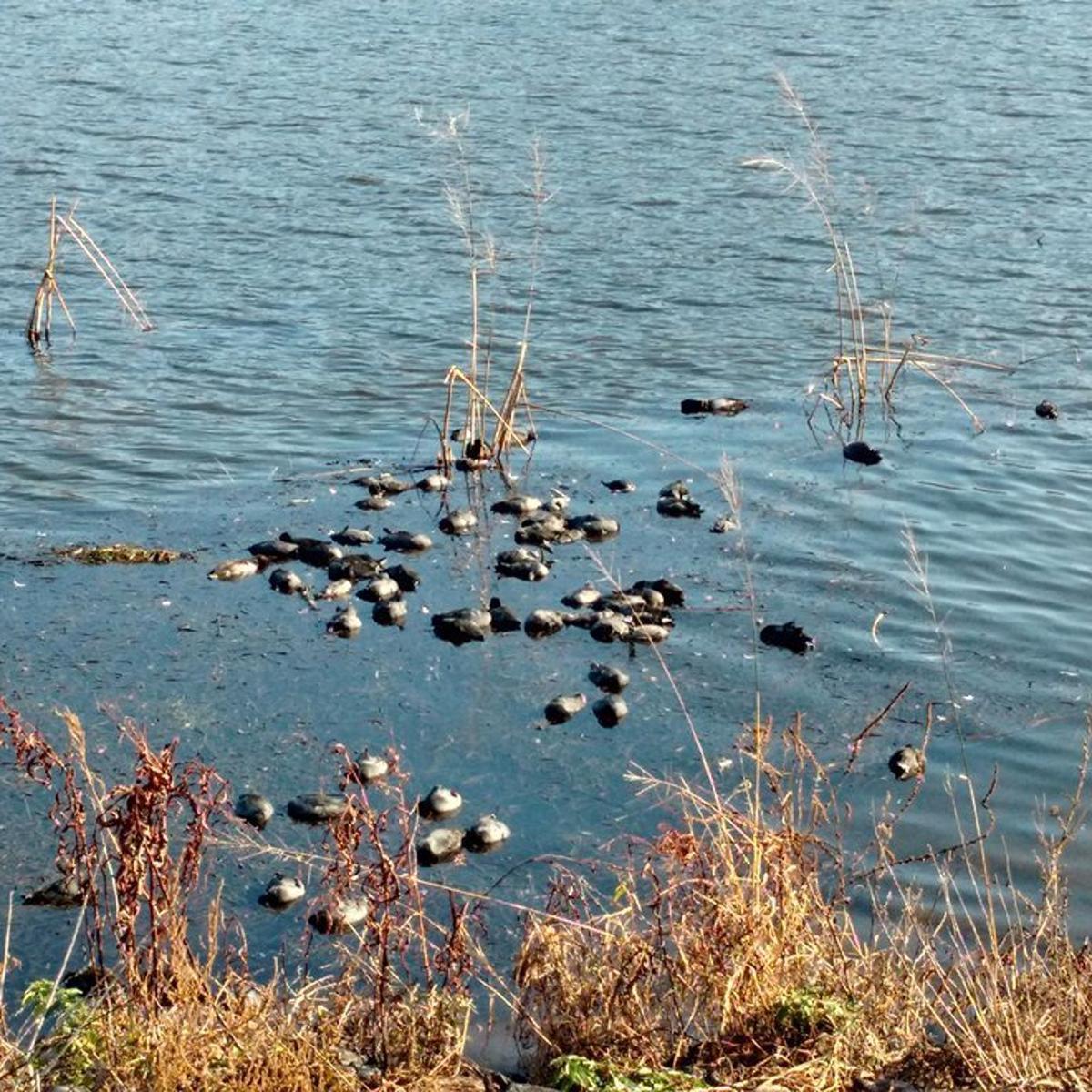 Invasive snail blamed for annual Mississippi River bird kill