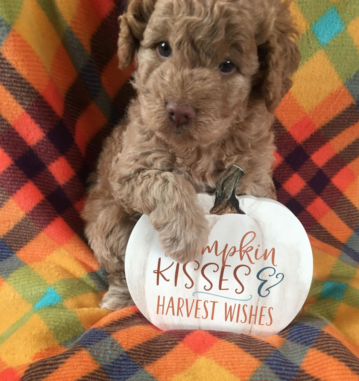 Goldendoodle Puppies image 1
