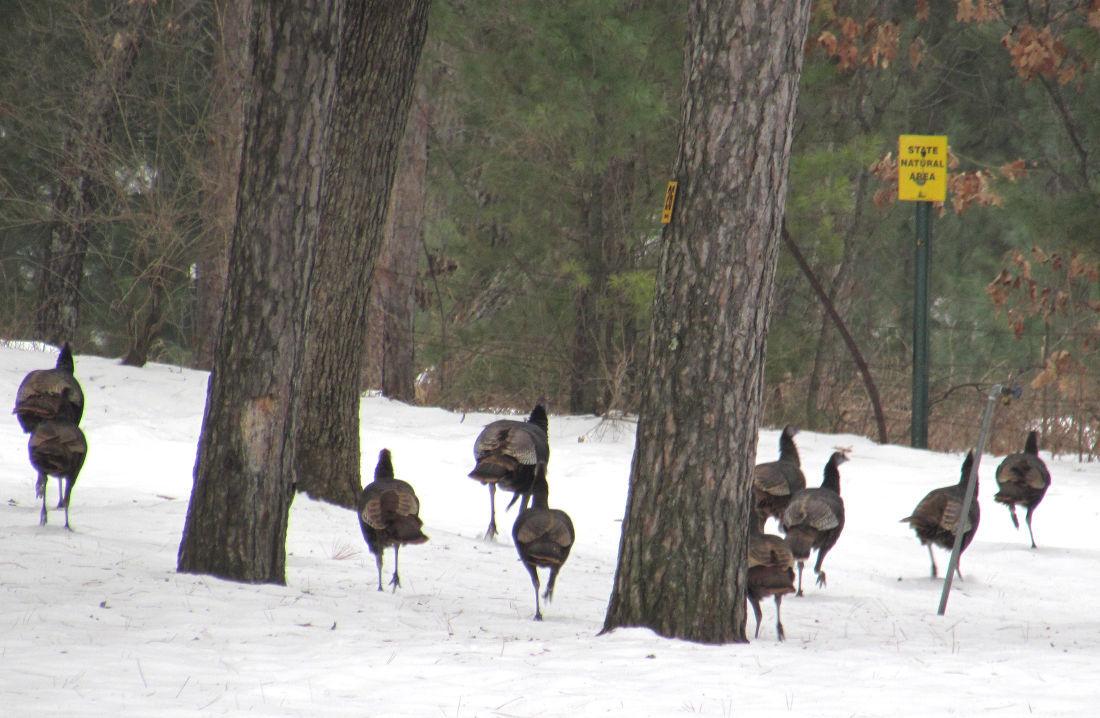 Turkeys on SNA