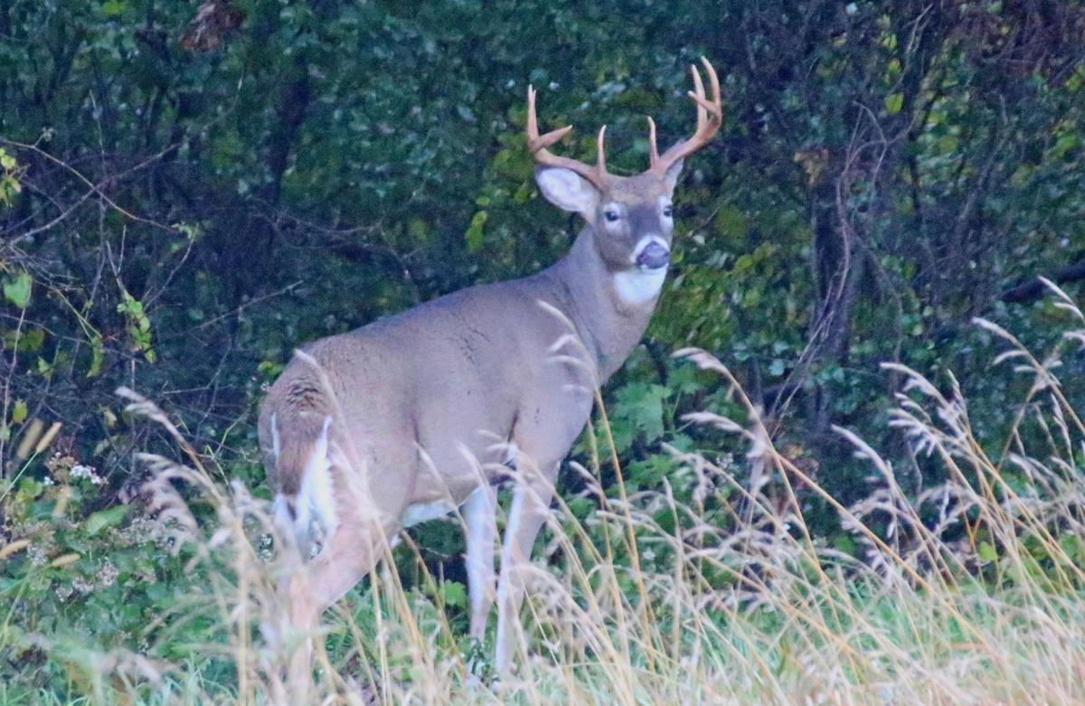 Buck swollen neck