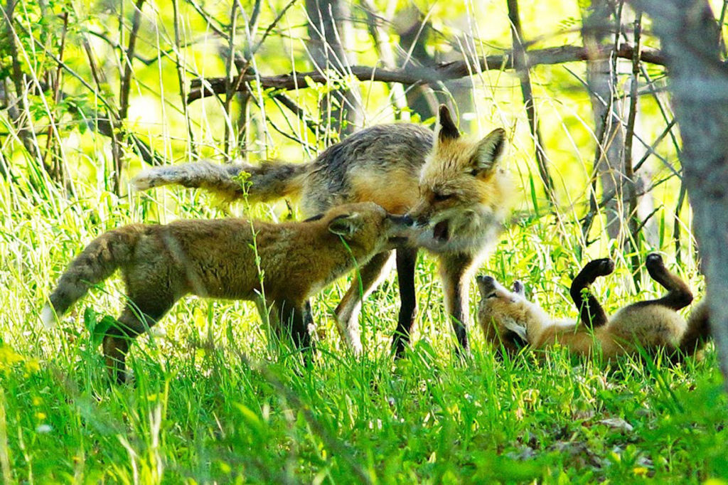 Mother fox and her young
