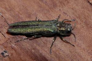 emerald ash borer (copy)