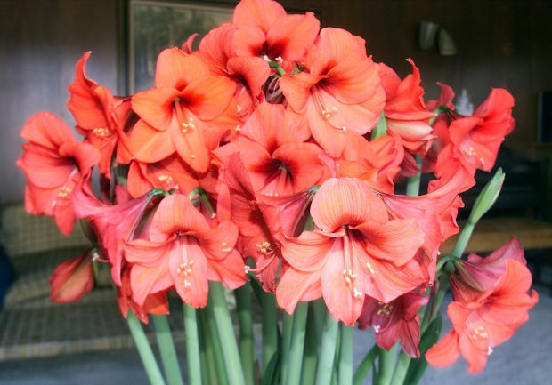 Amaryllis flowers (copy)