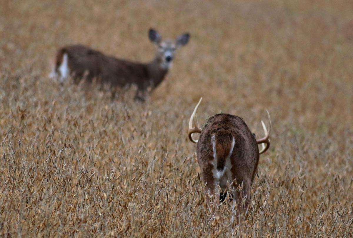 Deer chasing
