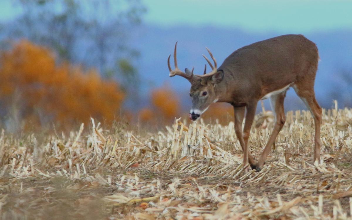 Roaming buck