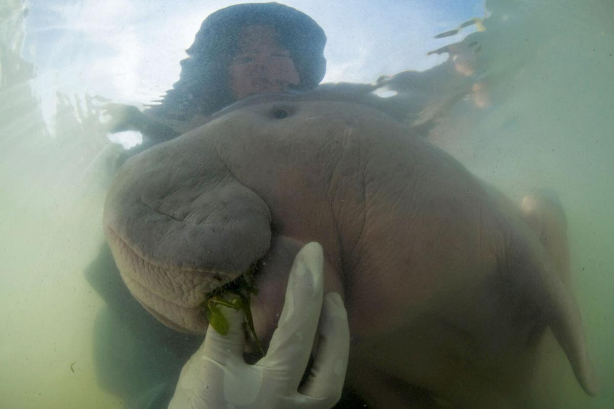 Thailand Baby Dugong