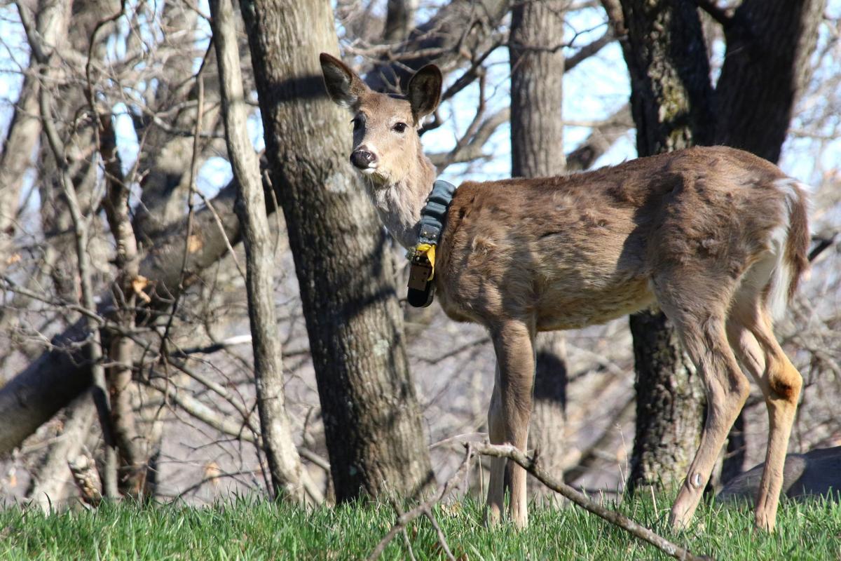 Collared buck