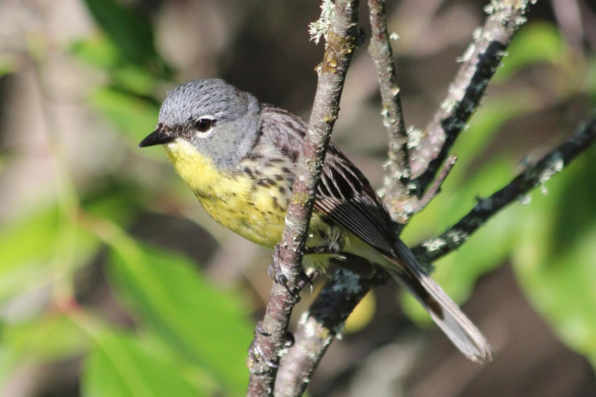 Kirtland's warbler in Vilas County