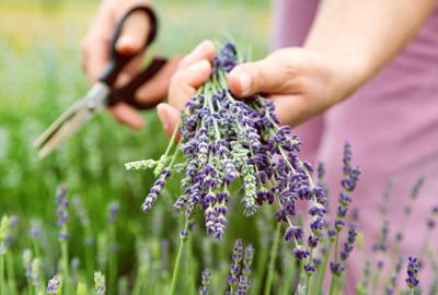 Love lavender? You'll love its many uses even more