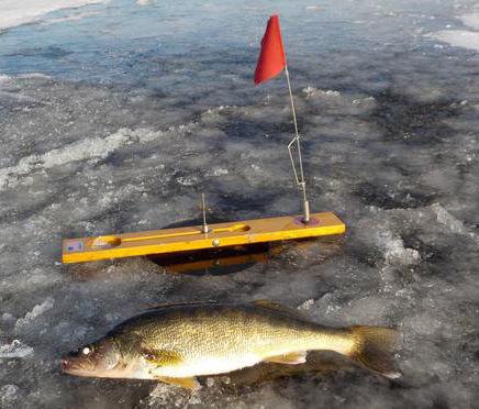Ice walleye