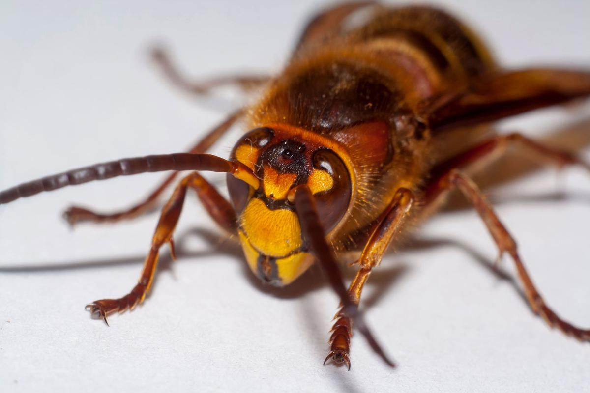 Invasive giant hornets have been spotted in the US for the first time