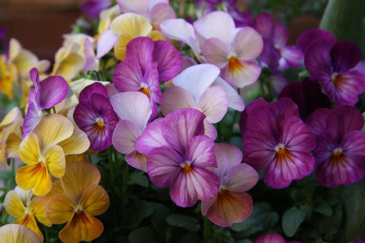 Spring Pansy Sale (copy)