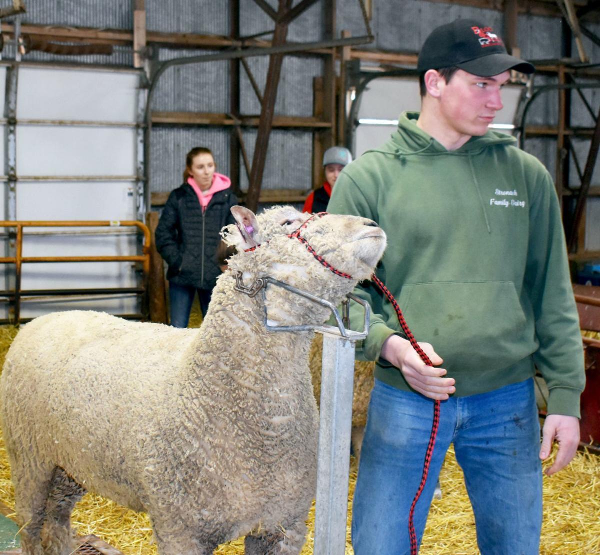 Sheep halter
